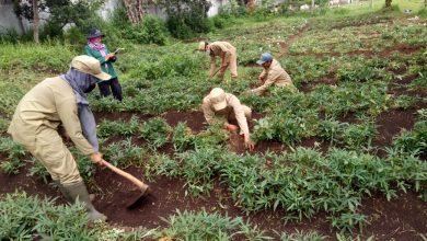 Photo of Ujian praktik agribisnis tanaman pangan